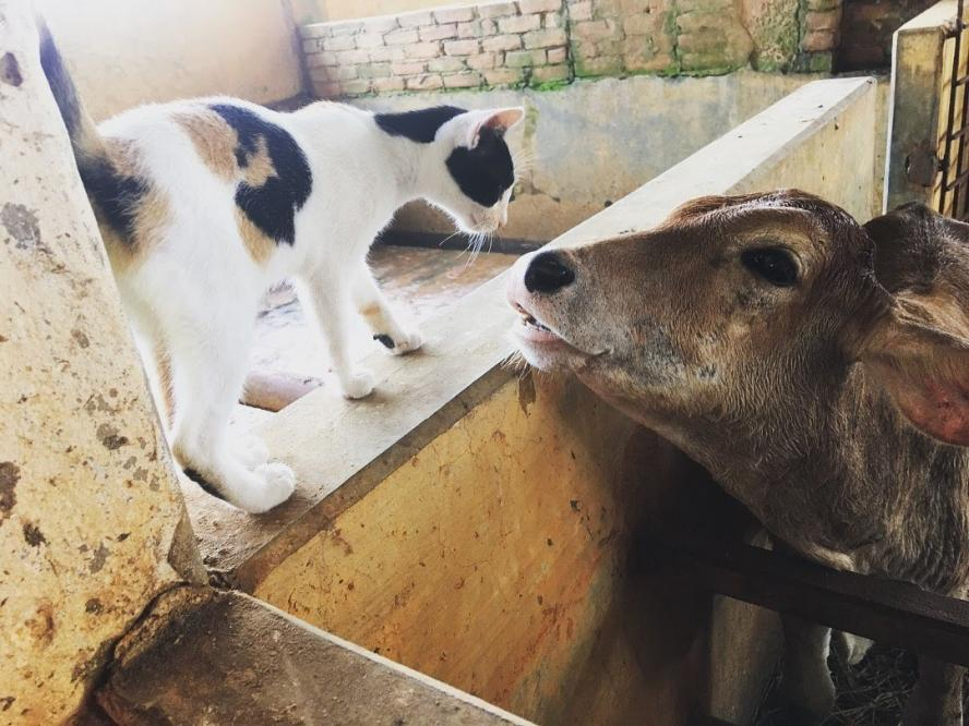 A cow and a cat touching noses on a farm in Bangladesh