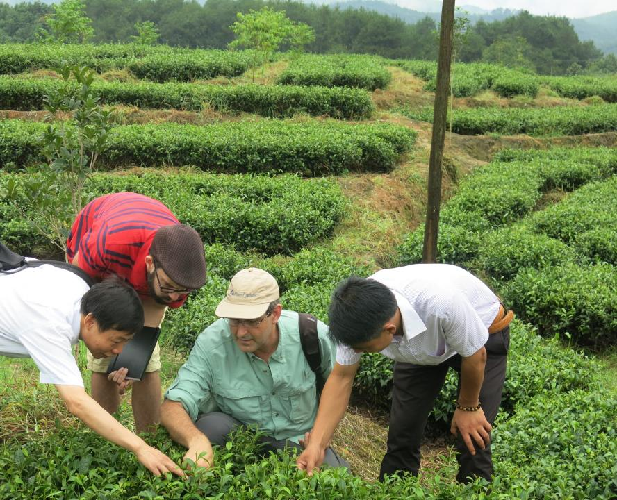 Dr. Wenyan Han, Eric Scott, Dr. Colin Orians, and Mr. Liu, Manager of Shanfu Tea Company, examining tea plants in the field
