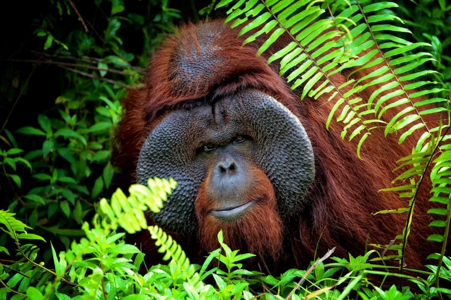An adult male Bornean orangutan peers through the fern leaves at the protected forest land around him at the Bornean Orangutan Survival Foundation in Samboja Lestari, Indonesia