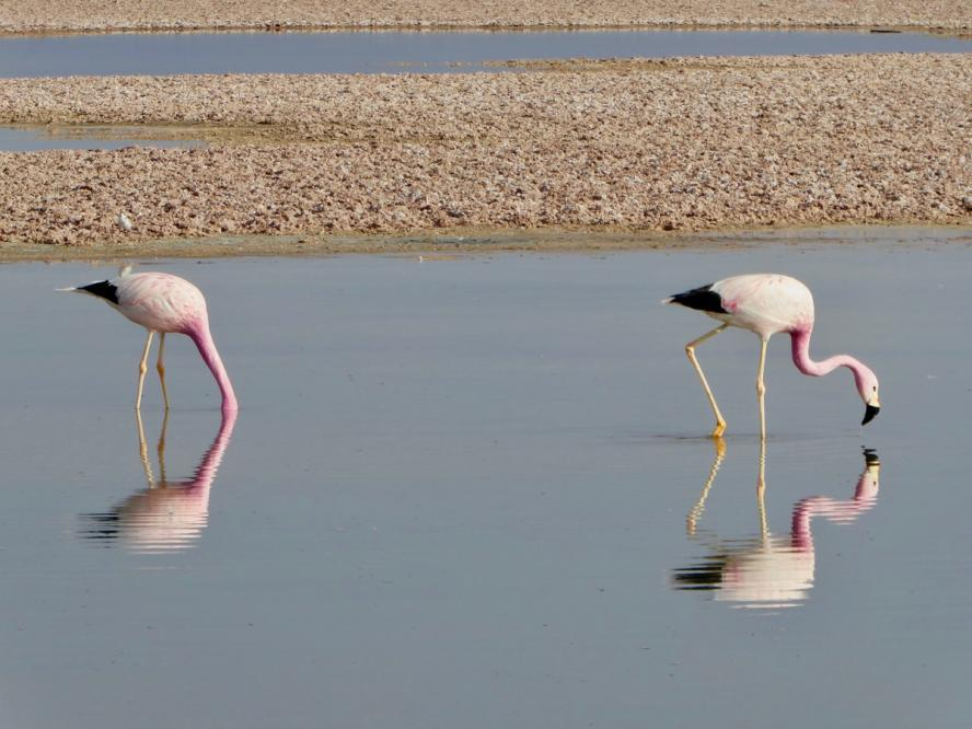 two flamingos feeding in the salt plains of the Salar de Atacama in Northern Chile