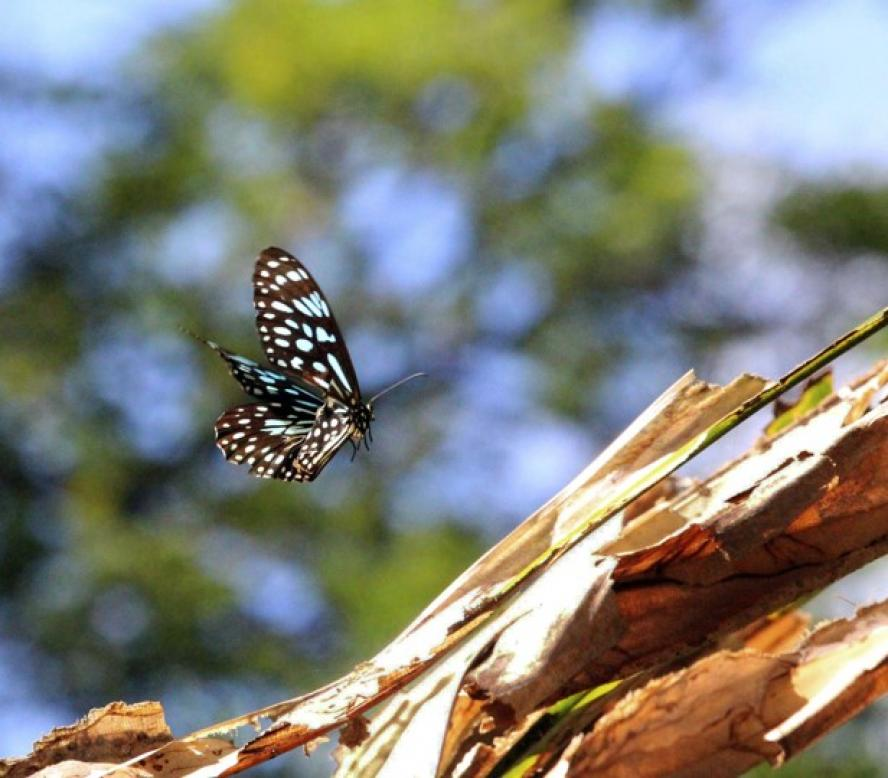 A Blue Tiger butterfly mid-flight, captured in the Palmetum botanical garden in Townsville, Australia.