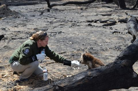 A woman gives water to a koala in a burned out landscape. Cummings School of Veterinary Medicine alumni on the ground in Australia are helping animals affected by the wildfires.