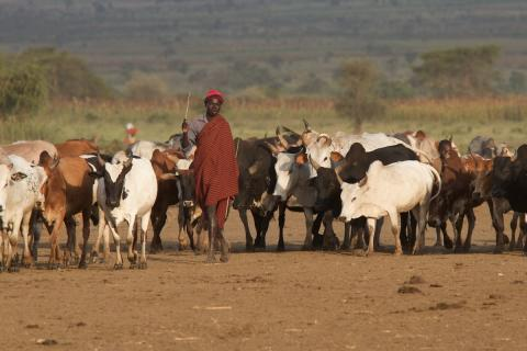 A man is walking with a herd of cattle in Uganda