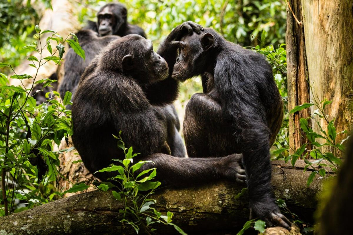 Two chimpanzees sit together in a tree in the jungle